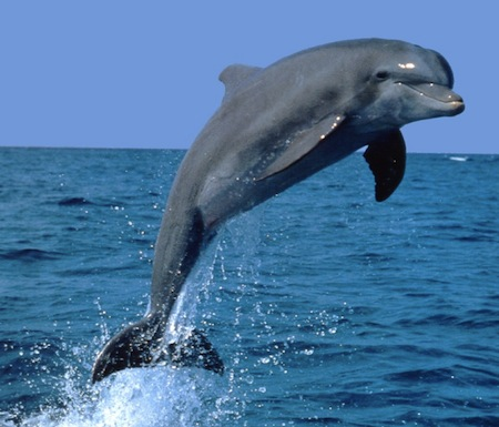 Pictures Of Bottlenose Dolphins Jumping - impremedia.net