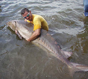 One of the first sturgeon caught in the James River in decades, this specimen measured over 7 feet long and weighed 300 pounds. (Photo: Virginia Commonwealth University)